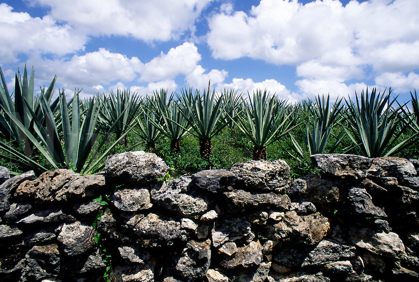 Agave plantation with stone wall and intense blue sky with puffy white clouds. #5861. Merida Yucatan Mexico.