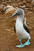 Blue-footed Booby strutting along in its typical clumbsy way, checking out the surroundings. One foot is off the ground and in process of taking the next step.