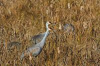 Sandhill cranes feeding in Crex Meadows (northwest Wisconsin).