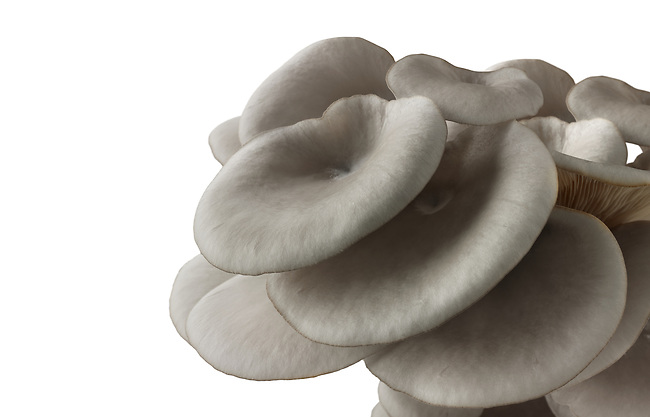 Fresh picked edible grey oyster mushrooms (Pleurotus) cut out against a white background