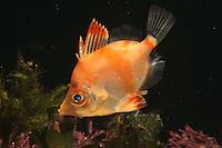 Boar Fish - Capros aper