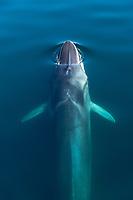 fin whale, Balaenoptera physalus, surfacing, Baja California, Mexico, Gulf of California, aka Sea of Cortez, Pacific Ocean