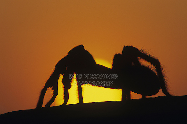 Tarantula (Aphonopelma sp.), adult at sunset, Starr County, Rio Grande Valley, Texas, USA