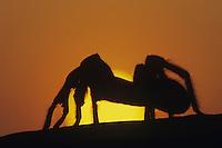 Tarantula (Aphonopelma sp.), adult at sunset, Starr County, Rio Grande Valley, Texas, USA