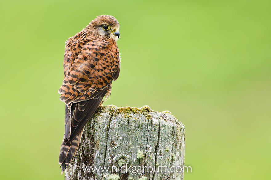 Adult female Common Kestrel (Falco tinnunculus) on ancient wooden fence post. Isle of Mull, north west Scotland.
