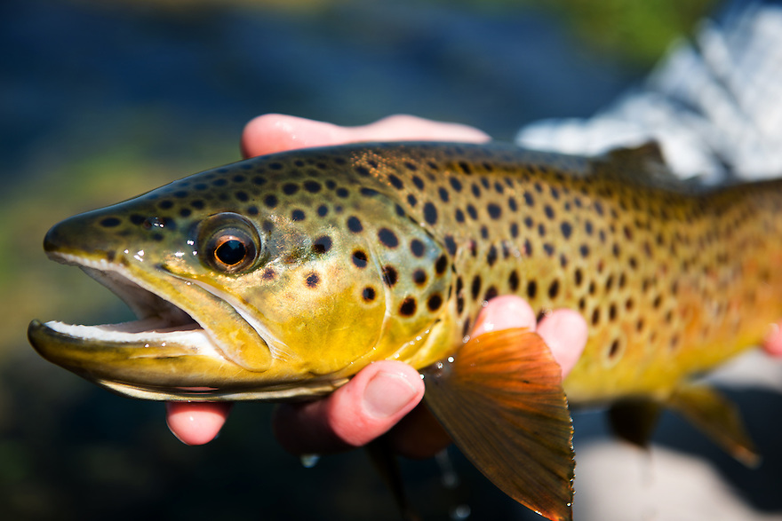 An angler holds a brown trout on a spring creek near the Jefferson River in southwest Montana.