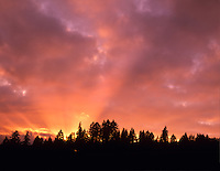 Sunset with sunburst through Douglas Fir trees. Near Alpine, Oregon