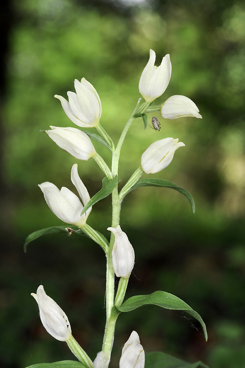 WHITE HELLEBORINE Cephalanthera damasonium (Orchidaceae) Height to 50cm. Attractive orchid of woods and scrub on calcareous soils, often under beech (Fagus sylvatica). FLOWERS are 15-20mm long, creamy white, bell-shaped and partially open; each has a leafy bract and they are borne in tall spikes (May-Jul). FRUITS form and swell at the base of the flowers. LEAVES are broad and oval at the base, but become smaller up the stem. STATUS-Locally common in S England only.