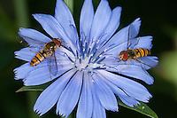 Hain-Schwebfliege, Gemeine Winterschwebfliege, Winter-Schwebfliege, Hainschwebfliege, Schwebfliege, Episyrphus balteatus, Blütenbesuch auf Wegwarte, Cichorium intybus, marmalade hoverfly, marmalade hover-fly