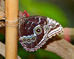 A Blue Morpho poses on bamboo showing off its wonderful underwing makrings and coloring. With its head held high and antennae pointing to the sky, its head, eye and leges are apparent.