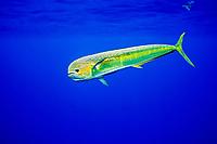 mahi mahi, dolphin fish, or dorado, Coryphaena hippurus, cow, Kona, Big Island, Hawaii, USA, Pacific Ocean
