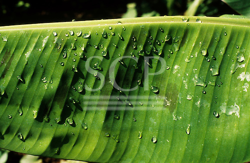 Amazon, Brazil. Banana leaf with water droplets.