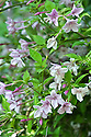 Pale pink flowers of jasmine (Jasminum x stephanense), end June.