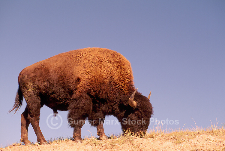 American Bison (Bison bison) aka Buffalo grazing in the Hayden Valley, Yellowstone National Park, Wyoming, USA
