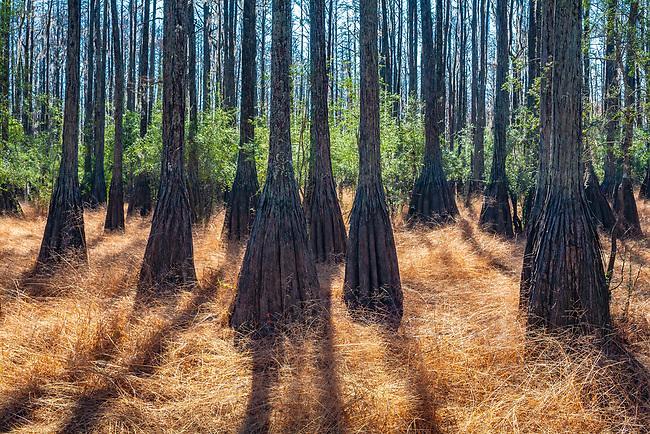 Pond Cypress at Cathedral Bay Heritage Wildlife Preserve