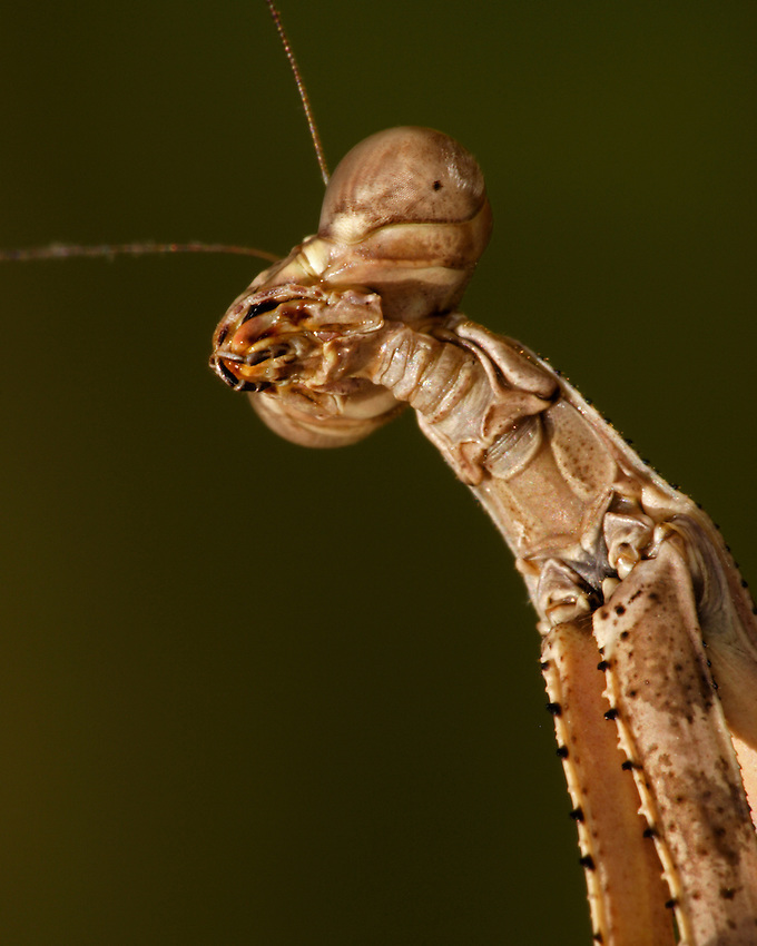 Mantids are the only insects that can turn their head from side to side without moving any other part of their body.