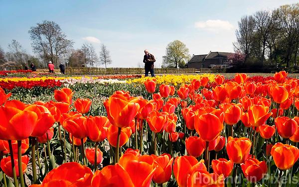 Oranje tulpen bij Castricum