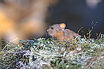 Pika On Hay Pile With Ear Tag