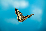 Swallowtail Butterfly, Papilio machaon, in free flight, flying against blue sky background, high speed photographic technique.United Kingdom....