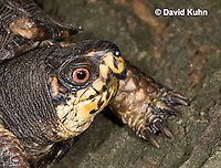 1002-0809  Close-up of Head of Male Eastern Box Turtle - Terrapene carolina © David Kuhn/Dwight Kuhn Photography.