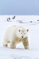 Polar bear in the snow on an island in the Beaufort Sea on Alaska's arctic coast.