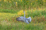 Sandhill crane startled by something in a field in northern Wisconsin.