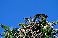 Osprey, Pandion haliaetus, with outstretched wings standing on large nest, Florida USA