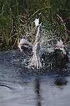 Great blue heron splashing in water, Florida