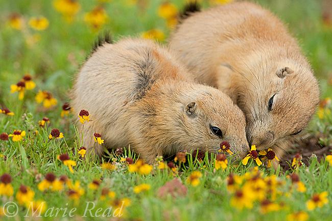 Black-tailed Prairie Dogs (Cynomys ludovicianus), two young animals feeding together, Wichita Mountains National Wildlife Refuge, Oklahoma, USA