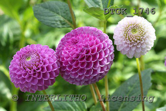 Gisela, FLOWERS, photos, DTGK1746,#f# Blumen, flores, retrato