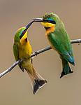 Kenya, Maasai Mara National Reserve, little bee-eater (Merops pusillus)