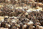 Thousands of charging wildebeest cross a muddy river during a stampede.  The large herd of wildebeest, also known as gnus, power across the water to greener pastures as part of their annual migration.<br /> <br /> London-based photographer and filmmaker Andy Skillen travelled to the Mara River in the northern Serengeti to capture the Great Wildebeest Migration, which is believed to be the largest in the world.  SEE OUR COPY FOR DETAILS.<br /> <br /> Please byline: Andy Skillen/Solent News<br /> <br /> © Andy Skillen/Solent News & Photo Agency<br /> UK +44 (0) 2380 458800