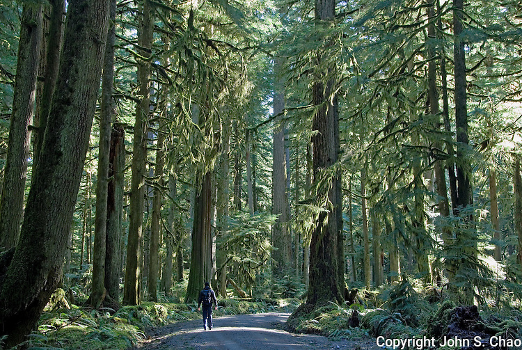 A solitary hiker walks through tall Old Growth trees in a temperate rainforest along the closed Carbon River Road, Mount Rainier National Park, Washington State.....Photographed on digital media.