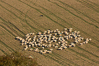 Free-range sheep being herded together by a sheep dog at Sheepdrove Organic Farm, Lambourn, England RESERVED USE - NOT FOR DOWNLOAD -  FOR USE CONTACT TIM GRAHAM