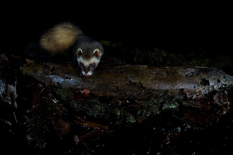 A wild European Polecat (Mustela putorius) exploring a fallen log in woodland. North Wales