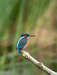 Kingfisher, Alcedo atthis, Grove Ferry, Kent, UK, perched on branch over pond,