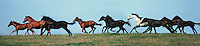 Panoramic shot of herd of thoroughbred yearlings running in profile across an open rise.