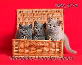 Marek, ANIMALS, REALISTISCHE TIERE, ANIMALES REALISTICOS, cats, photos+++++,PLMP6370,#a#, EVERYDAY