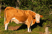 Cow Brown and white Profile Smaland region. Sweden, Europe.