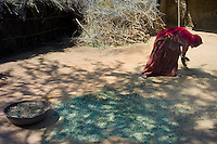Indian woman wearing traditional Rajasthani sari collects goat manure for natural fertilizer in Nimaj village, Rajasthan, India RESERVED USE - NOT FOR DOWNLOAD -  FOR USE CONTACT TIM GRAHAM