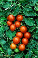 HS09-187x  Tomato - Washington cherry variety