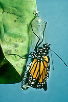 A newborn Monarch Butterfly, Danaus plexippus, hangs from its sac after emerging from Chrysalis