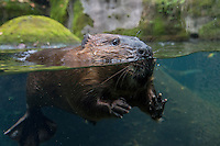 North American Beaver (Castor canadensis) checking out photographer.  Pacific Northwest, fall.