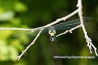 06447-00205 Dragonhunter (Hagenius brevistylus) NN Fen Ripley Co. MO