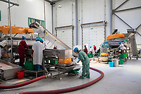 China - Ningxia - The grape sorting machine at Ho-Lan Soul, the largest organic winery in Ningxia and one of the most ambitious. In the next ten years, it plans to build 30 different chateaux spread along 6,700 hectares of vines and connected with tourist facilities. The complex will also feature an exhibition centre, a forest park, several hotels, a ski resort and a section of the Great Wall. The project is expected to cost a staggering 758 million euros.