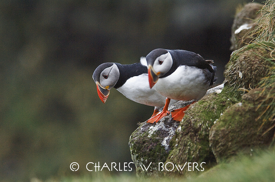 Iceland is home to one of the world's largest colonies of puffins. Over half of the world population of the Atlantic Puffin breeds in Iceland.<br /> <br /> -Limited Edition of 50 Prints