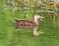 Female mottled duck
