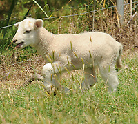 NWA Democrat-Gazette/ANDY SHUPE<br /> A lamb runs Wednesday, June 14, 2017, at the Coffey sheep and goat farm west of Prairie Grove in Washington County.