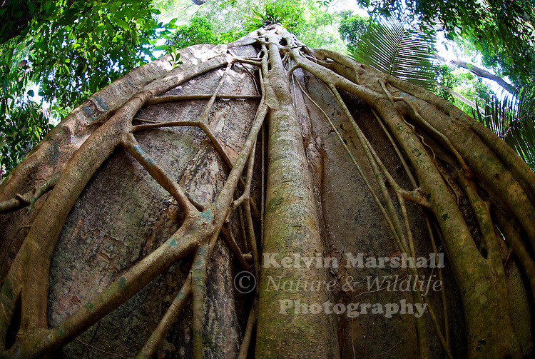 An amazing Fig Of The Tropical Rainforest. This is a good example of a Strangler Fig
