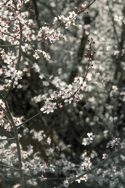 Cherry Blossoms, Mendocino California